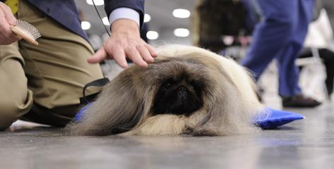 Warm and fuzzy: Pekingese Palacegarden Malachy, photographed at a show with owner David Fitzpatrick, is a canine to keep an eye on at this year's Westminster Dog Show.