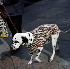 Spot-on: A Dalmatian named Mia is led to New York's Madison Square Garden the day before the Westminster Dog Show.