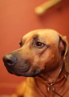Wyatt, a Rhodesian Ridgeback, works with autistic children.