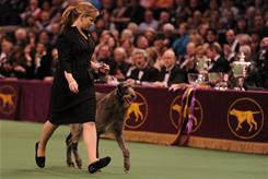 Handler Angela Lloyd shows Scottish deerhound Foxcliffe Hickory Wind.