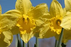 Daffodils come in many varieties.