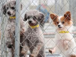 These two poodles and  Chihuahua, among the thousands of dogs saved by National Mill Dog Rescue, now have clean spaces and wet food. And bright eyes..