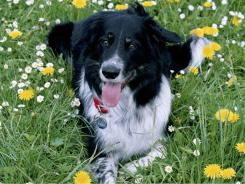 Many consider the Border collie to be the smartest dog on the planet.