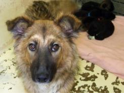 Breezy is one of the adoptable dogs at the Teller County shelter. . She's a young collie/border collie mix with six puppies