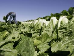 A worker harvests romaine lettuce in Salinas.