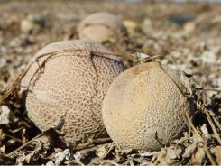 Cantaloupes rot in the afternoon heat on a field on the Jensen Farms.