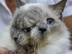 Frank and Louie, one name for each face, is  known as a Janus cat, named for the Roman god with two faces on one head.