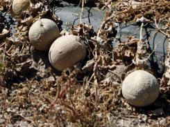 The Colorado cantaloupe crop linked to illnesses  has traveled so far and wide that producer Jensen Farms can't say exactly where its fruit ended up.
