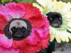 Lisa Woodruff's pugs Mochi, left, and Olive dressed in their Halloween costumes as flowers at their home in Huntington Beach, Calif. The pugs have been geisha girls, surfer girls and sushi over the years.