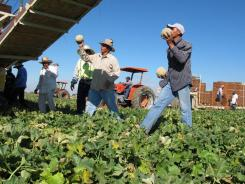 One of the few remaining crews of workers harvest and package cantaloupes near Firebaugh, Calif.