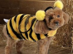 This product image courtesy of PetSmart shows the Top Paw Bee Costume. Pet owners will dress up millions of dogs this month for Halloween parades, parties, pictures, contests or candy hunts.