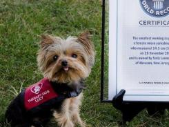 "Lucy, a 3-year-old mini Yorkshire terrier is the newly crowned ""world?s smallest working dog"" by the Guinness Book of World Records."