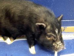 This photo provided by the Paulding County, Ohio, Dog Warden's office shows Bacon Bits, a 14-week-old pot belly pig that was turned over to the warden's office.