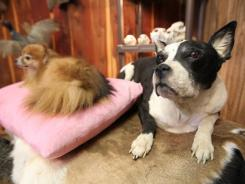 Dogs preserved at Xtreme Taxidermy in Romance, Ark., are part of a growing trend to keep beloved pets around after they die.