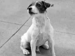 "Richardson said it was the rare dog indeed that landed TV or movie work. Here, Uggie (The Dog) in a scene from the motion picture ""The Artist."""