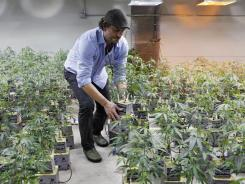 Matthew Huron, owner of two medical marijuana dispensaries and an edible marijuana company in Denver, examining a marijuana plant in his grow house.