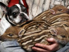 French bulldog named Baby, left, attends the feeding of wild boar piglets at the Lehnitz animal sanctuary outside Berlin, Germany.