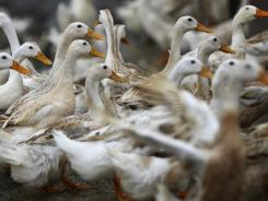 Ducks walk around an area where a suspected outbreak of the H5N1 bird flu virus was reported in Vietnam.